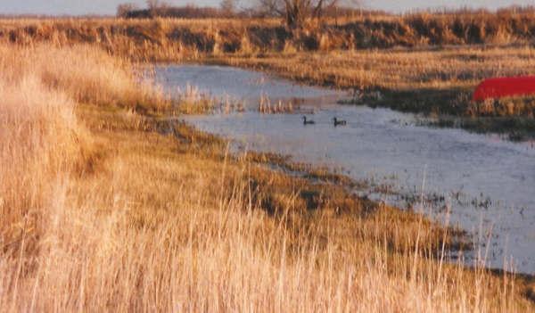 Autumn Ducks on the Homestead